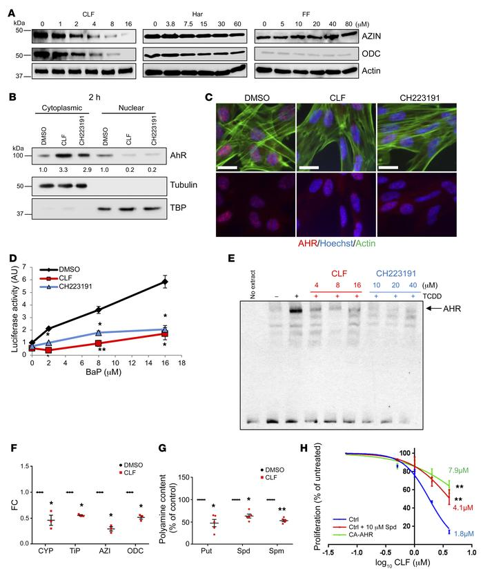 CLF is an AHR antagonist. (A) Extracts of WI38 cells treated for 2 hours...