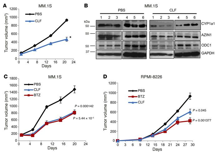 CLF inhibits MM xenograft growth. (A) MM.1S cells were inoculated s.c. i...