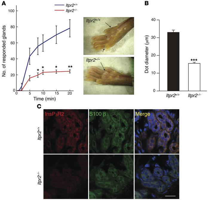 Decreased sweat secretion in Itpr2–/– mice. (A) Pilocarpine-induced swea...