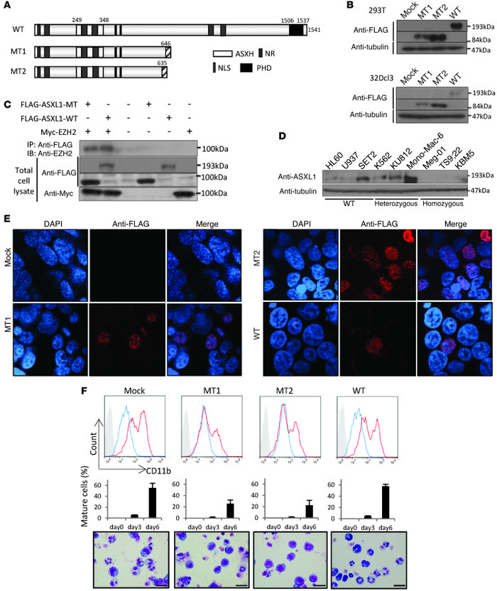 ASXL1 mutations inhibit G-CSF–induced myeloid differentiation of 32Dcl3...