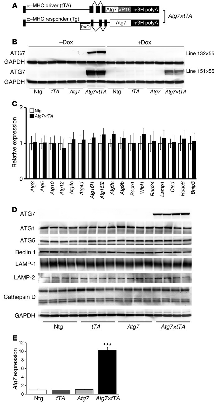 Generation and characterization of cardiomyocyte-specific inducible Atg7...