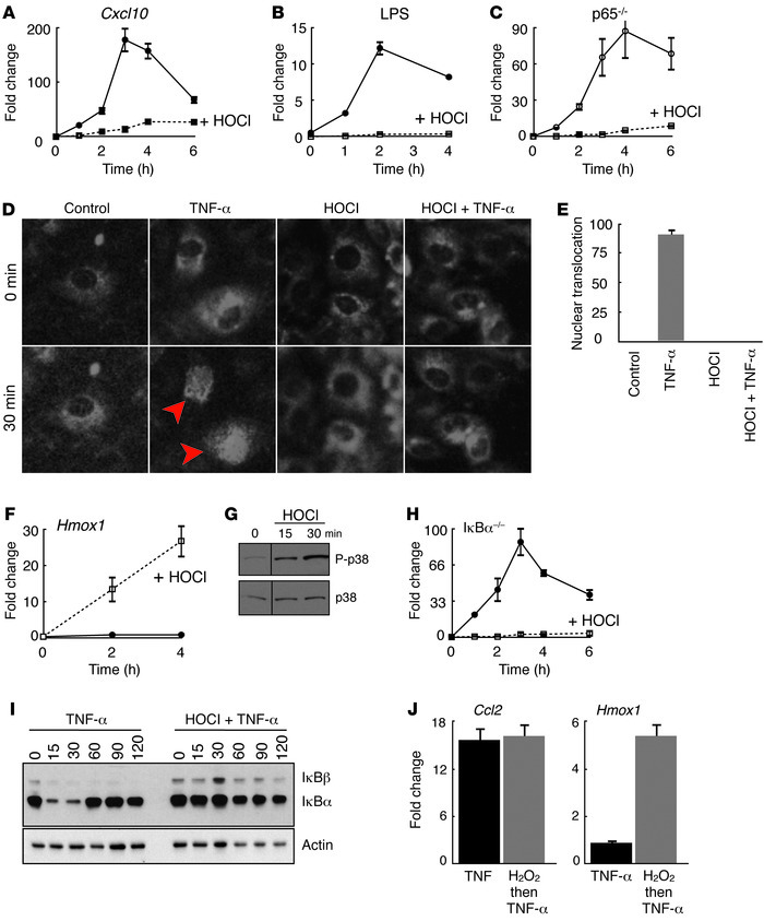 HOCl blocks intracellular NF-κB signaling independent of IκBα. (A) Relat...