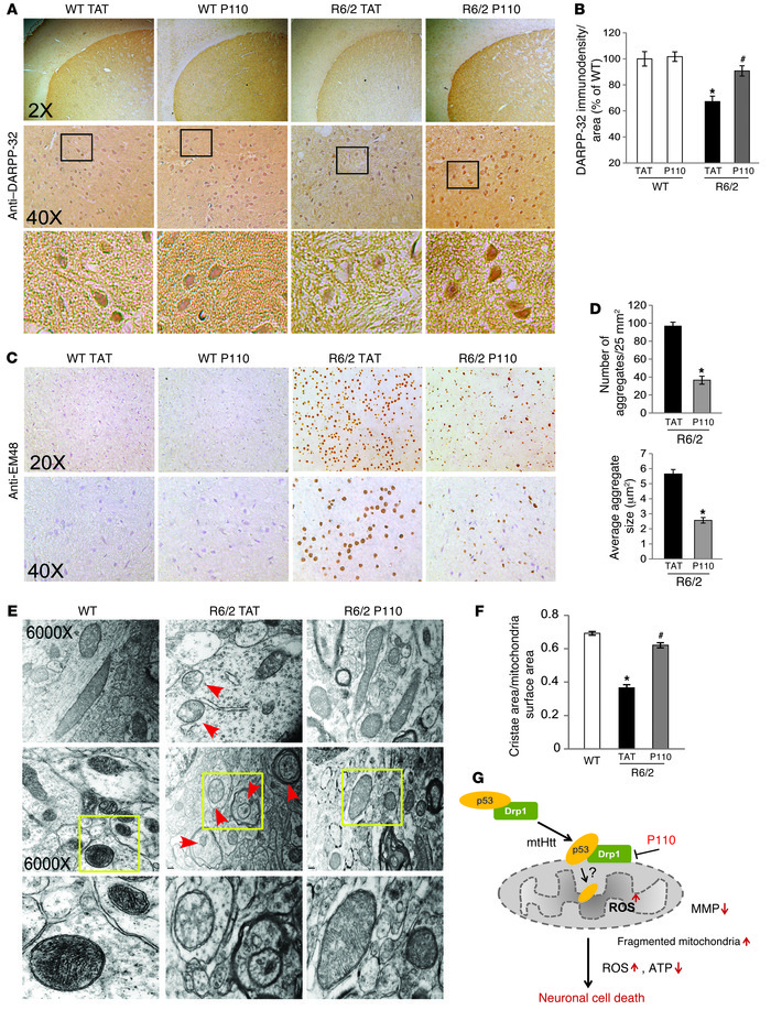 P110-TAT reduces neuropathology in HD R6/2 mice. (A and C) Coronal secti...