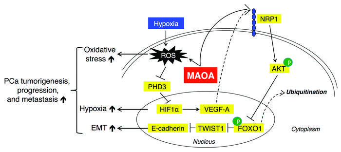 A proposed working model for how MAOA regulates prostate tumorigenesis, ...