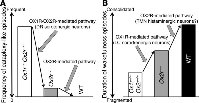 Proposed model for OX1R- and OX2R-mediated pathways in suppressing narco...