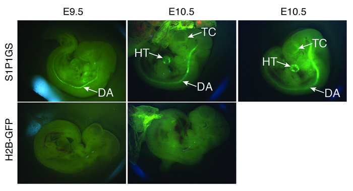 S1P1 activation in embryos. S1P1 GFP signaling and H2B-GFP E9.5 and E10....