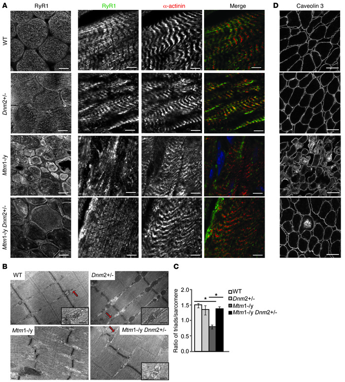 Integrity of triads in TA muscle from 8-week-old mice. (A) Transverse an...