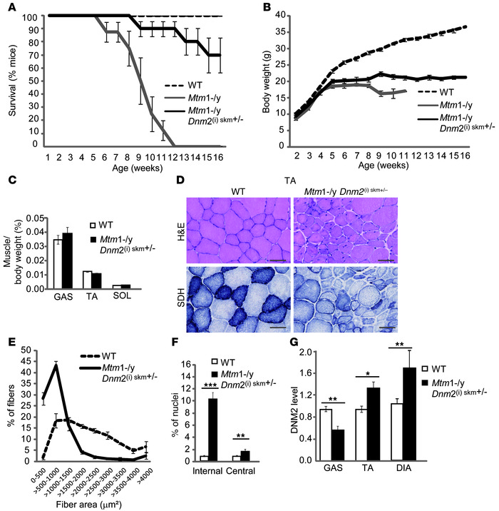 Reducing DNM2 in skeletal muscle after the onset of symptoms ameliorates...
