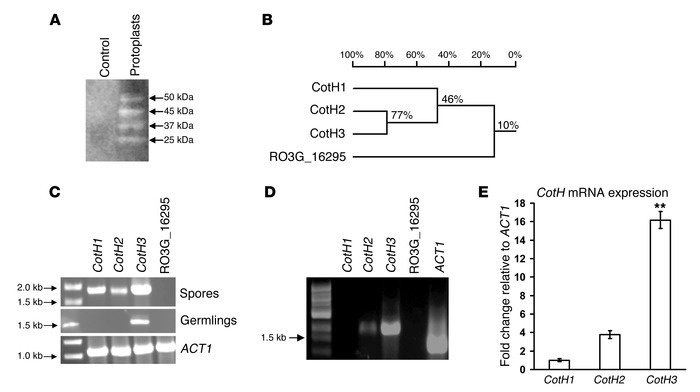 Identification and expression of CotH genes.   (A) Far-Western blot of R...