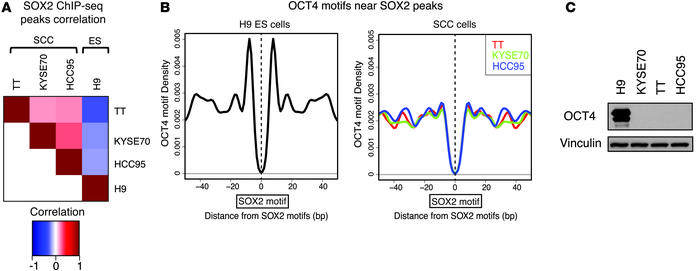 SOX2 genomic occupancy in SCC cells is distinct from that in ES cells. (...