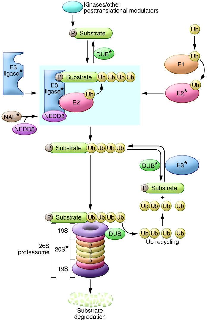 A schematic of the UPS. Ub is loaded onto the E1 activating enzyme in an...