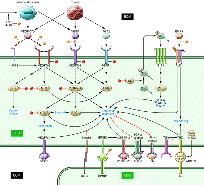 Growth factor and cytokine signaling pathways in lymphangiogenesis. Grow...