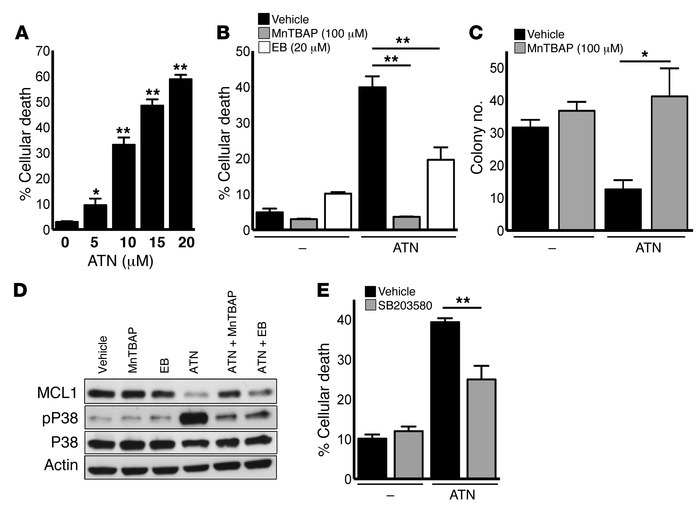 ATN-224–mediated SOD1 inhibition induces cell death in KrasG12D Tp53fl/f...