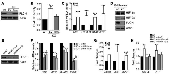 Loss of FLCN stimulates HIF-dependent glycolysis and ATP production. (A,...