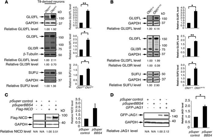 Accumulation of Shh and Notch signaling mediators upon depletion of cili...