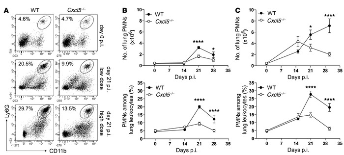 Reduced pulmonary PMN recruitment in Cxcl5–/– mice.   (A) Dot plots show...