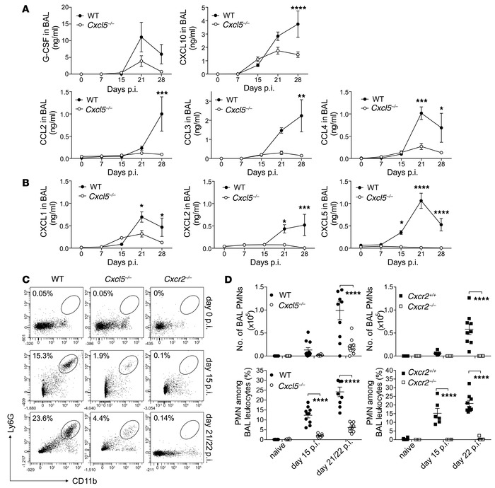 Reduced chemokine expression and BAL PMN recruitment in Cxcl5–/– mice.  ...