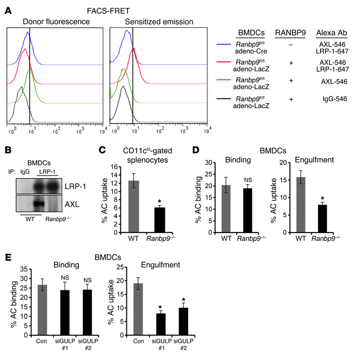 Disruption of AXL/LRP-1 interaction by RANBP9 deficiency blocks DC effer...