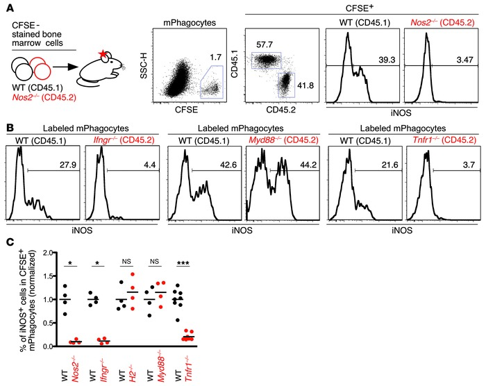 iNOS rapid induction in recruited phagocytes relies on the combined acti...