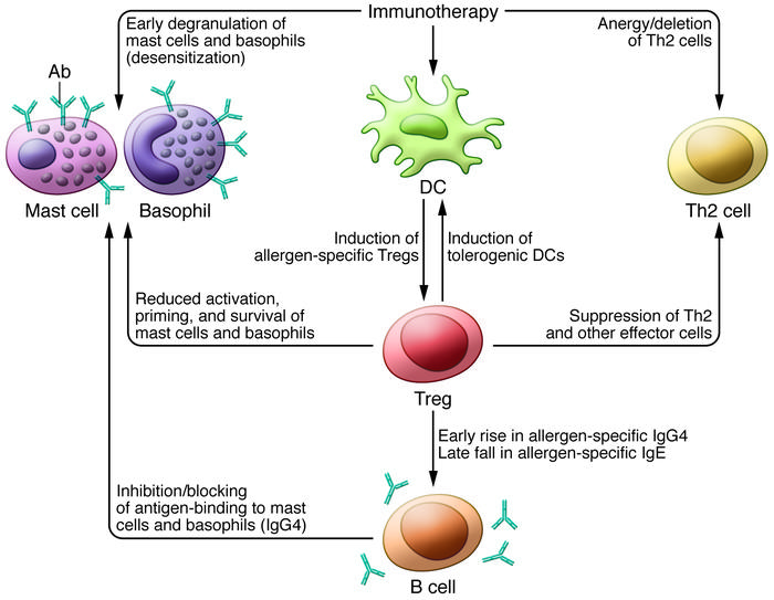 Potential mechanisms by which specific immunotherapy to food may act. Mu...