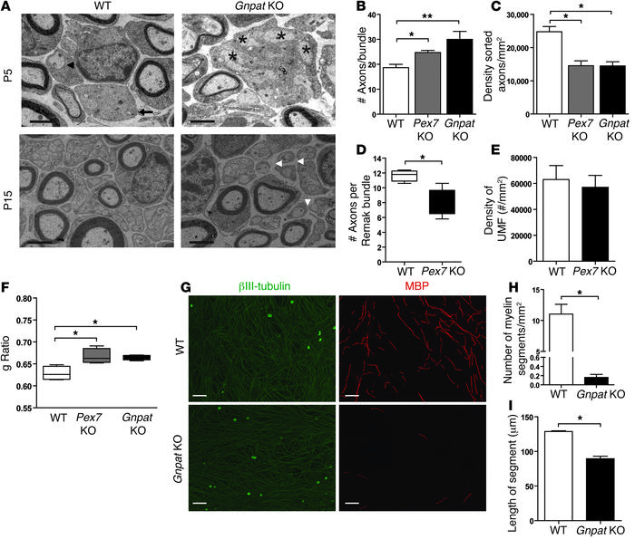 Plasmalogen deficiency causes defects in axonal sorting and myelination....