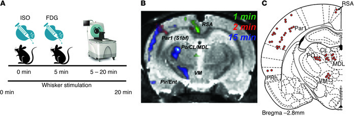 Vibrissae stimulation leads to time-dependent brain activation in barrel...