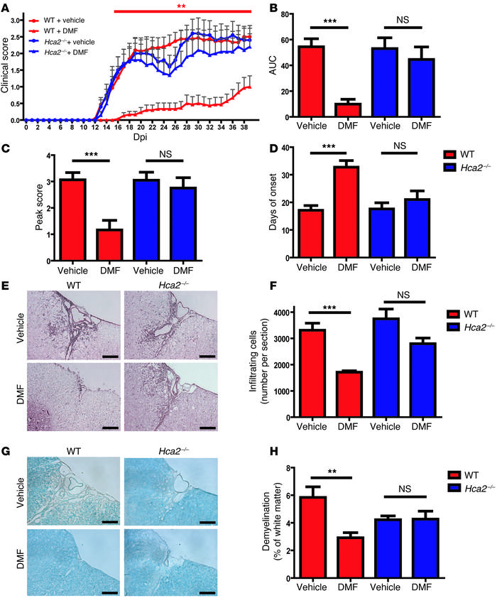 DMF treatment attenuates the severity of EAE in wild-type mice but not i...