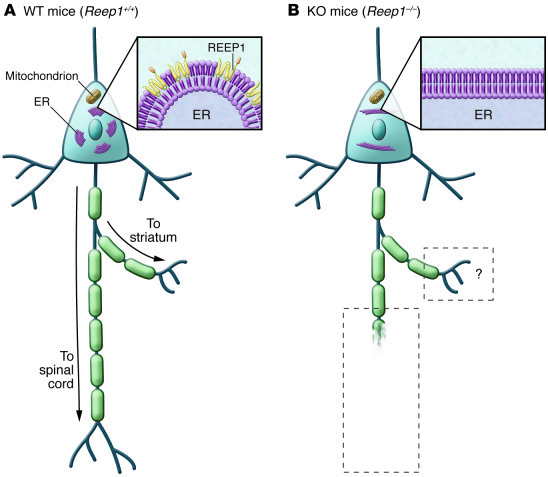 Schematic illustration of a corticospinal neuron in wild-type (Reep1+/+)...