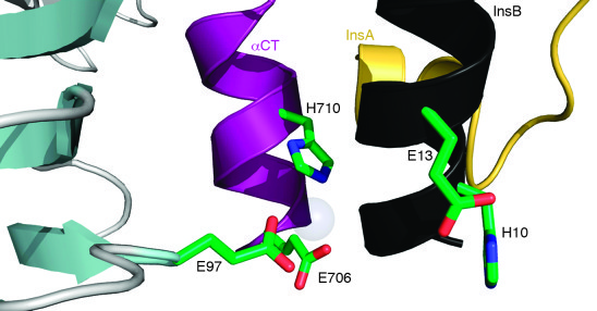 Putative Zn2+-binding residues at the IR-insulin interface.     Model of...
