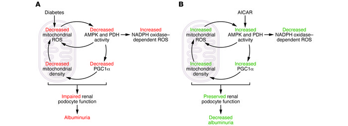 A feed-forward cycle of AMPK-activated mitochondrial metabolism and ROS ...