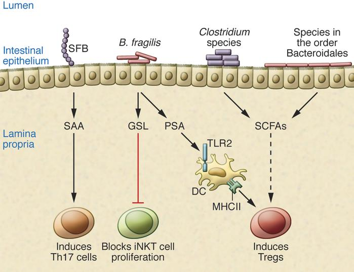 Commensal bacteria that modulate the intestinal immune system. SFB induc...
