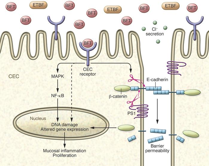 Cellular mechanism of action of BFT. BFT binds to a specific, but as-yet...