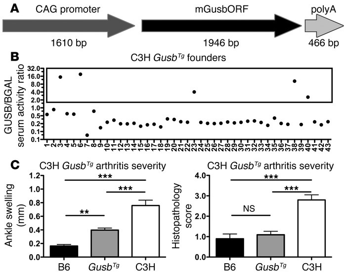 Correction of GUSB hypomorphism in C3H mice is protective. (A) Transgeni...