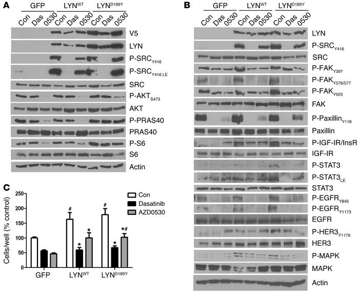 Growth of MCF-7 cells overexpressing LYNWT or LYND189Y is reduced by SRC...