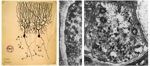 Starting in the late 1880s, anatomists, including Santiago Ramón y Cajal...
