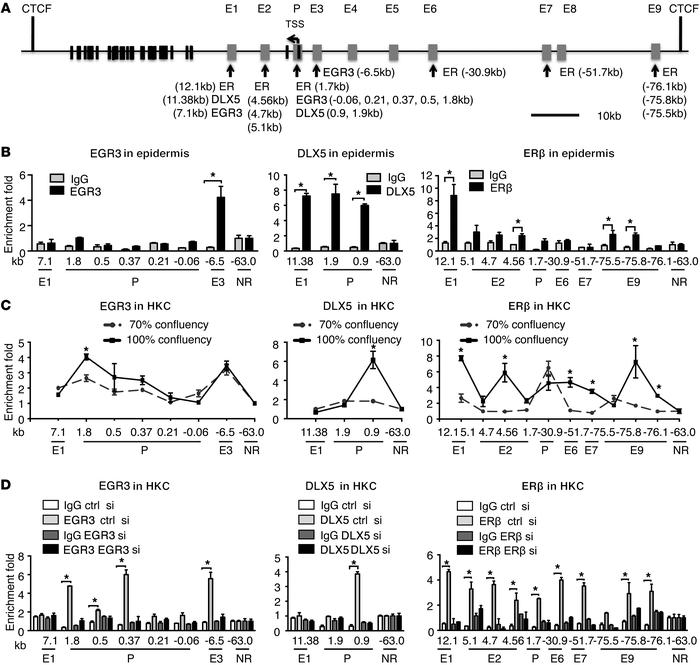 Binding of endogenous EGR3, DLX5, and ERβ to NOTCH1 gene locus in human ...