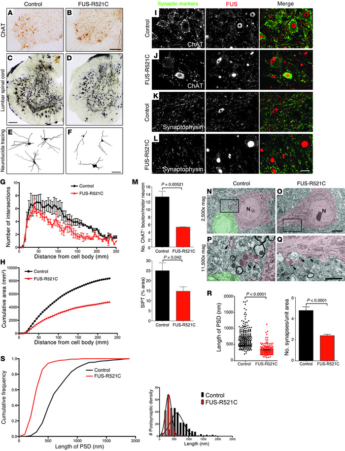 Dendritic and synaptic defects in FUS-R521C spinal motor neurons. (A and...