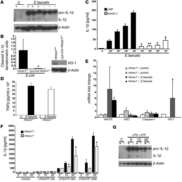 Role of HO-1 on IL-1β release from bacteria-infected macrophages. (A–C) ...