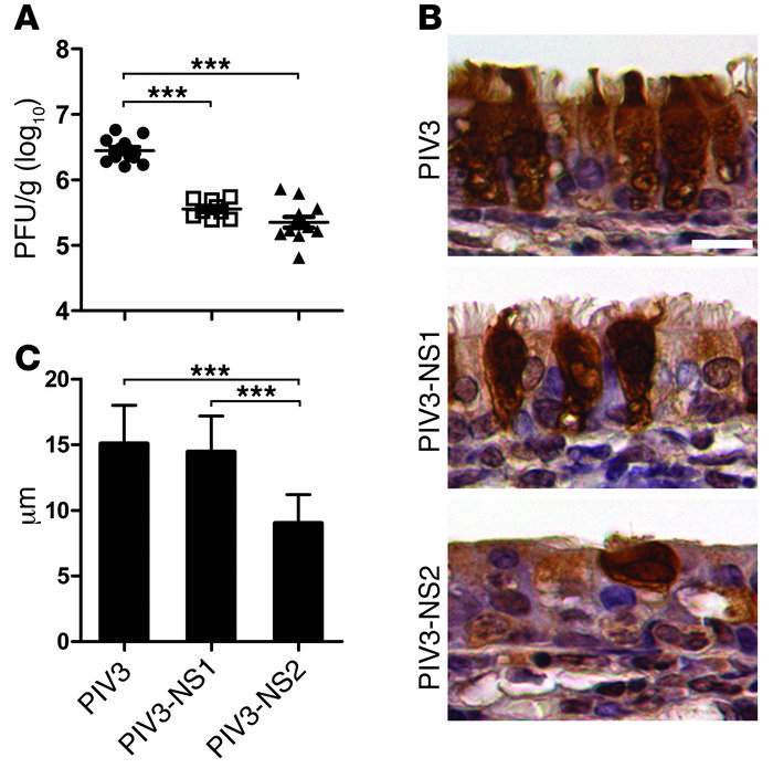 PIV3-NS2 causes ciliated cell rounding in the hamster nasal respiratory ...