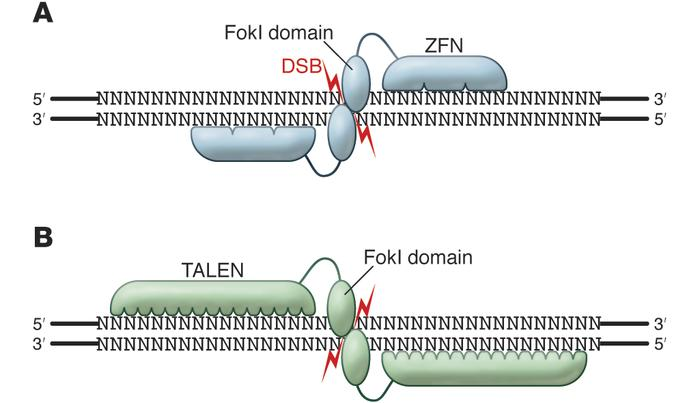 Binding specificity of ZFNs and TALENs. (A) The variable length ZFN DNA–...