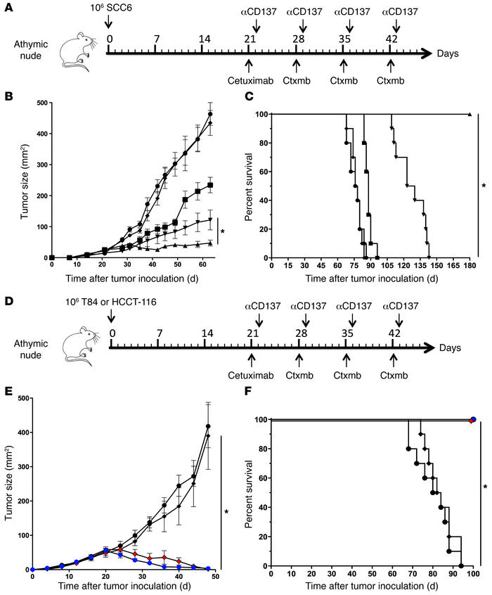 Anti-CD137 agonistic mAb enhances antitumor activity of cetuximab in viv...