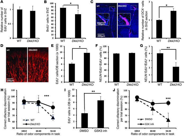 Characterization of adult neurogenesis in Dkk3 KO mice. (A) Quantificati...