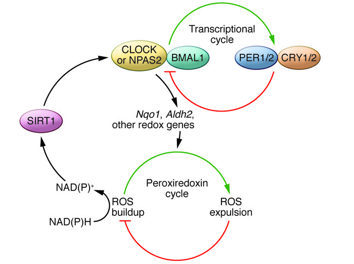 Crosstalk between the transcriptional and peroxiredoxin cycles. CLOCK or...