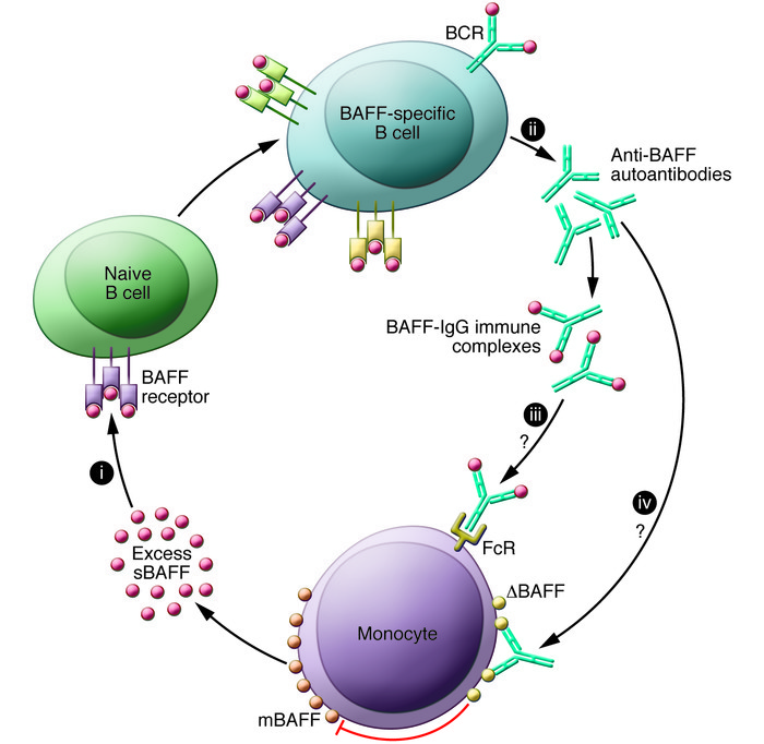 Model for how autoantibodies against BAFF may exacerbate SLE. Excess sBA...
