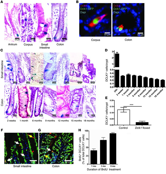 DCLK1 labels long-lived epithelial tuft cells. (A) Representative LacZ s...