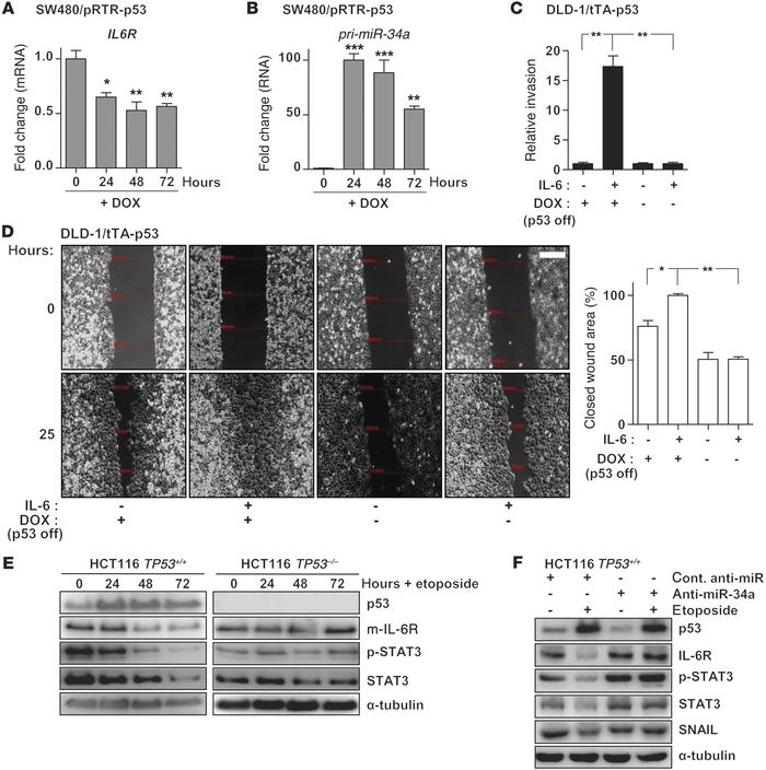 p53 disrupts the IL-6R/STAT3/miR-34a feedback loop by inducing miR-34a. ...