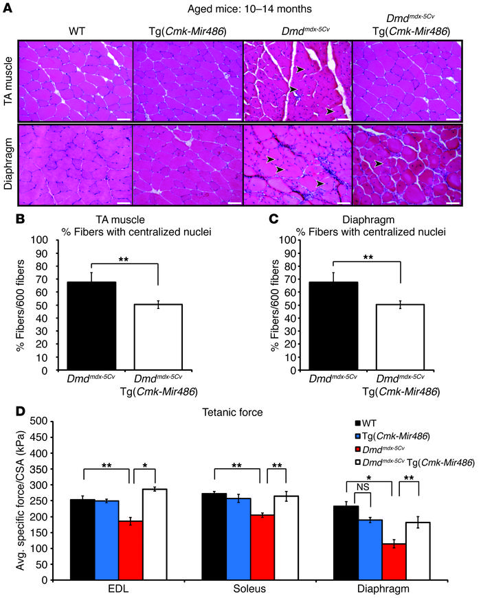 Aged dystrophic mice show similar improved pathology resulting from miR-...