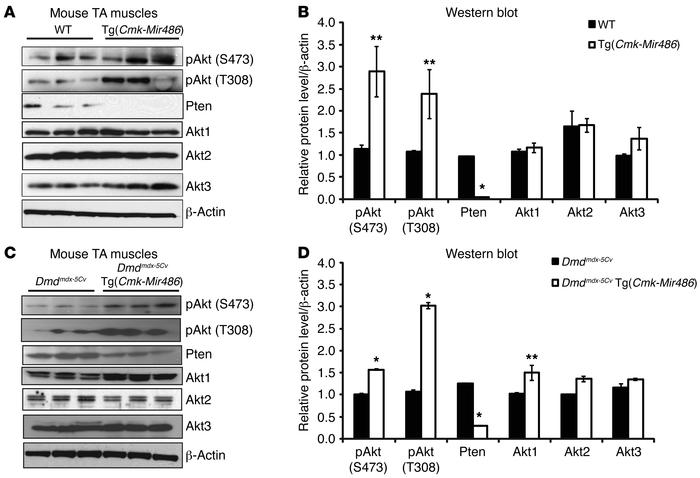 PTEN/AKT signaling is dysregulated in miR-486–overexpressing mouse muscl...
