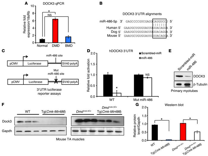 DOCK3 is a direct target of miR-486 in skeletal muscle. (A) Real-time qP...