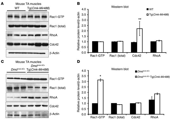 RAC1 activation is induced in miR-486–overexpressing muscles. (A–D) The ...